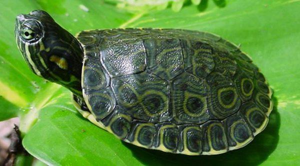 Una tartaruga d'acqua dolce come animale domestico