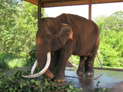 Sri Lanka: un regale ospite del Pinnawala Elephant Orphanage
