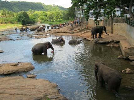 Sri Lanka: gli ospiti del Pinnawala Elephant Orphanage giocano vicino ai turisti