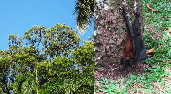 Sri Lanka: gli ospiti del giardino botanico, le volpi volanti