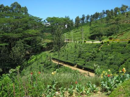 Sri Lanka: le piantagioni di tè