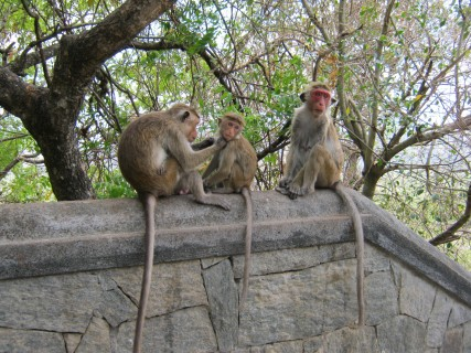 Sri Lanka: scimmie