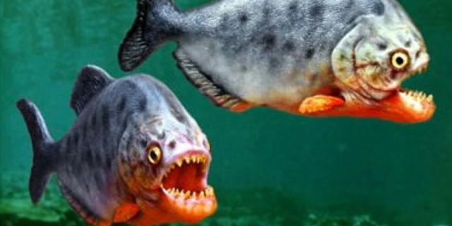 Animali domestici spaventosi: piranha