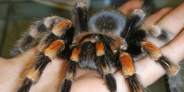 Animali domestici spaventosi: tarantola